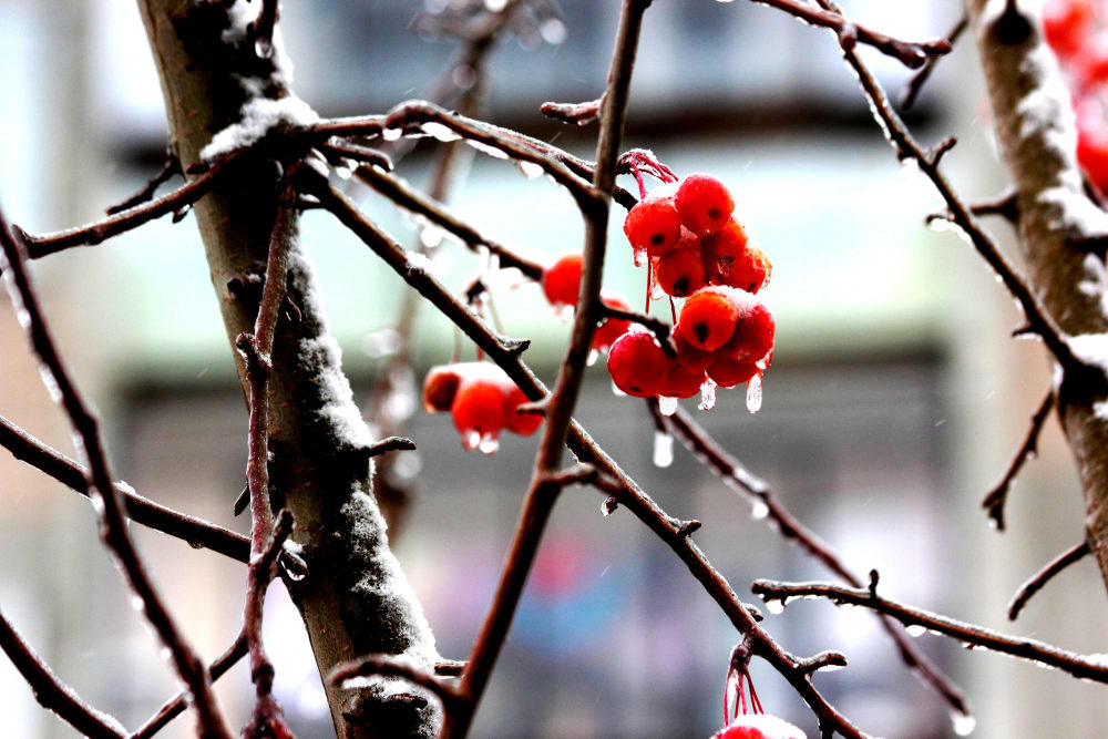 Яблочки свежеморожен-ные+